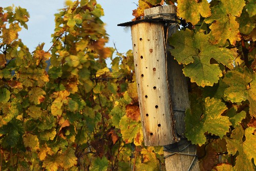 Nesting aid for beneficial insects in vineyard, Palatinate, DE