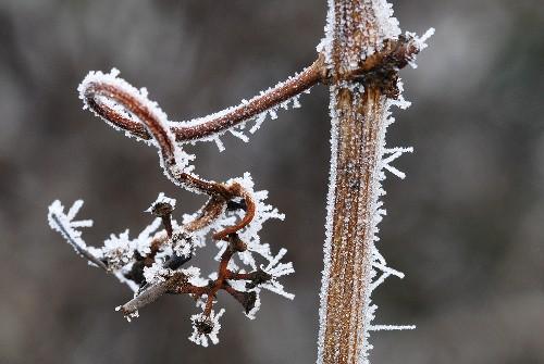 Hoar frost on a vine