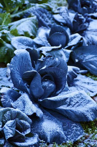 Frozen cabbages in a field