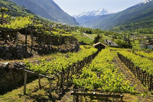 Blanc de Morgex (Wine-growing region in Aosta Valley, Italy)