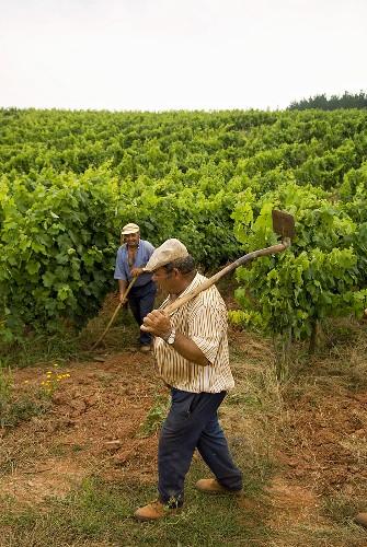 Vineyard workers, Quinta do Sanguinhal, Portugal
