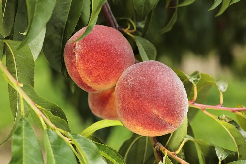 Yellow Florentine peaches on the tree