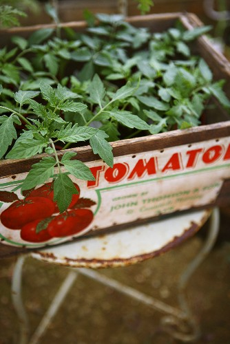 Young tomato plants in a box