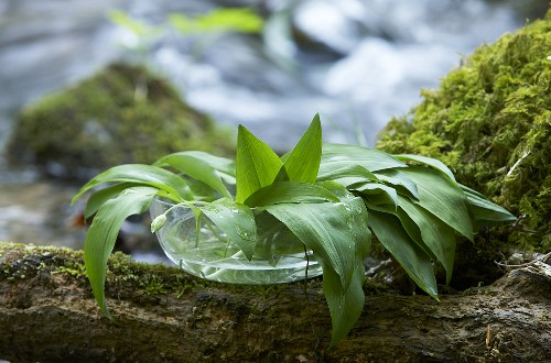 Fresh wild garlic in a dish with water
