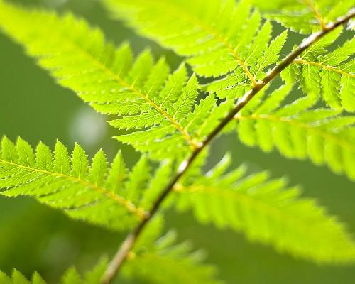 Soft Tree Fern (dicksonia antarctica)