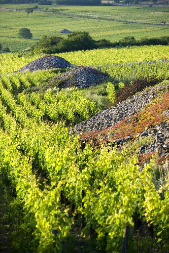 Santenay, vineyard above the old mill with typical stone walls, Burgundy, France