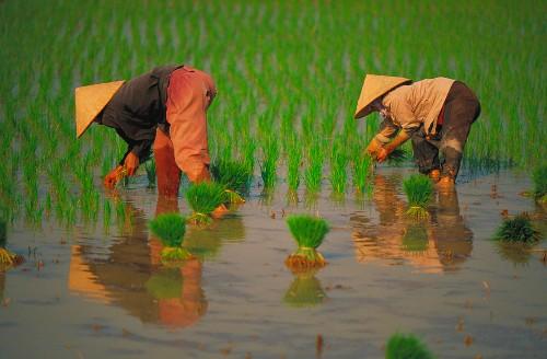 Women picking rice, Vietnam