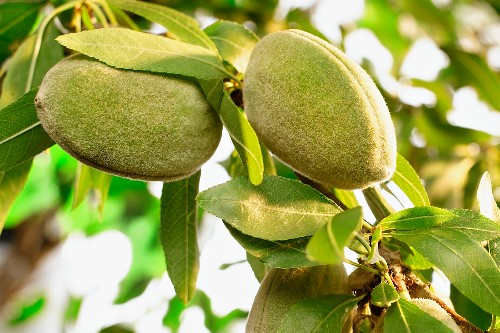 Fresh almonds