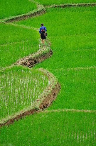 Path through paddy field, Ban Ko Muong, Hoa Binh province, Vietnam