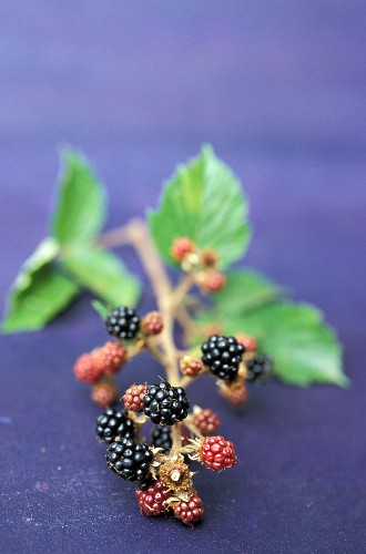 Small branch of blackberries