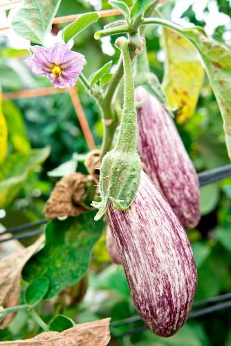 Striped eggplants on the plant