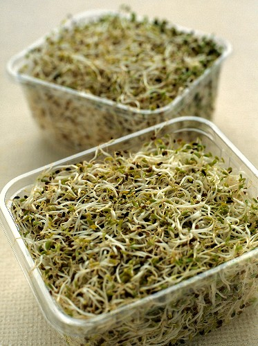 Alfalfa Sprouts in Plastic Containers