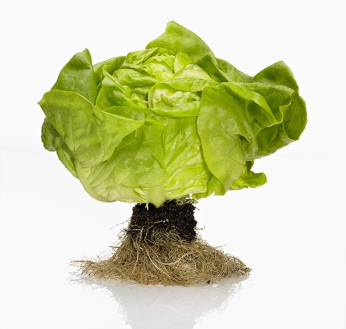 A Head of Butter Lettuce with Roots