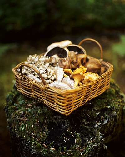 A Basket of Assorted Wild Mushrooms on a Mossy Log in the Woods