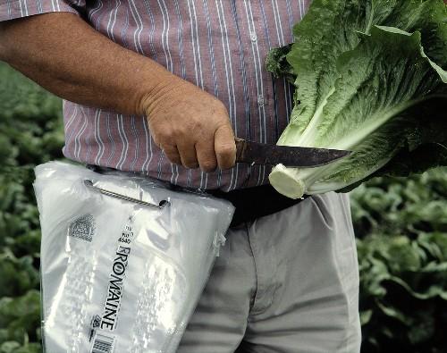 Field Worker Trimming a Head of Romaine Lettuce