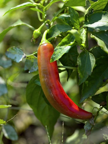 Chilli pepper on the plant
