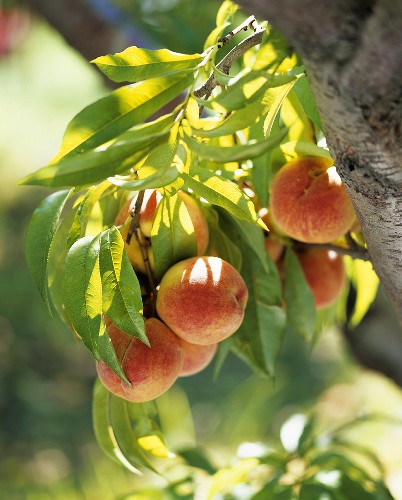 Sun Warmed Peaches on the Branch