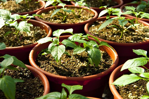 Young Pepper Plants Growing in Pots