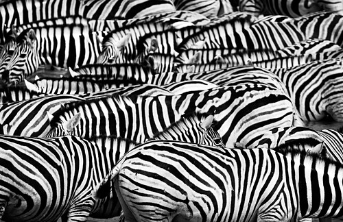 Group of zebras, Etosha National Park, Namibia, Africa