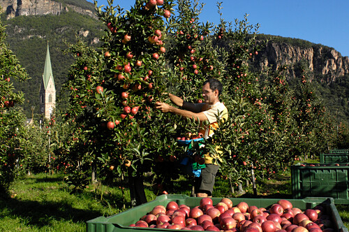 Apple harvest, one person picking apples, Terlan, Etsch valley, Alto Adige, South Tyrol, Italy, Europe