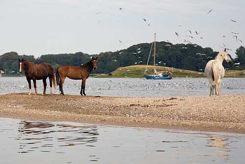 Horses at the banks of Schlei at the Bukenoor, Schleswig-Holstein, Germany, Europe