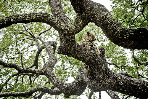 Leopard in an ebony tree, Sabi Sands Game Reserve, South Africa, Africa