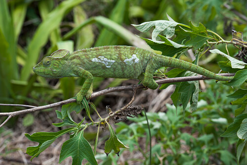 Chameleon on a branch in the rainforest, Antsiranana, Madagascar