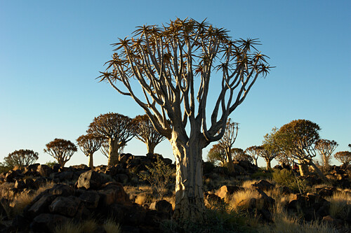 Quiver tree, South Africa
