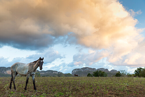 horse, Mogotes and tobacco fields in Vinales, climbing region, loneliness, countryside, beautiful nature, family travel to Cuba, parental leave, holiday, time-out, adventure, National Park Vinales, Vinales, Pinar del Rio, Cuba, Caribbean island