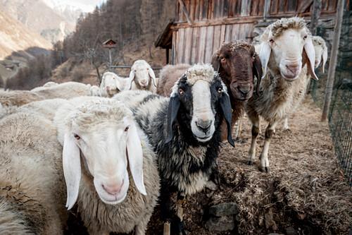 Schaf, Schafe, Südtirol, Italien, Alpen, Europa