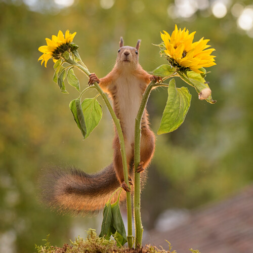 Red squirrel (Sciurus vulgaris) standing between two sunflowers, Bispgarden, Jamtland, Sweden