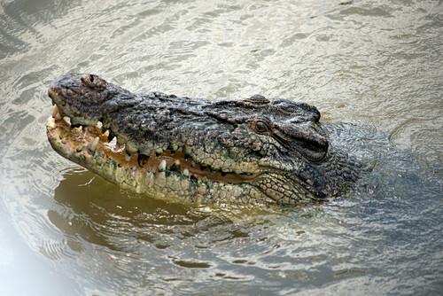 Salzwasserkrokodil im Adelaide River, gesehen während der Spectacular Jumping Crocodile Tour, Adelaide River, Northern Territory, Australien