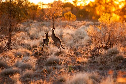 Zwei Graukängurus zum Sonnenuntergang, Mutawinji NP, New South Wales, Australien