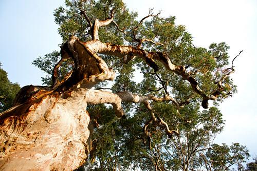 Knorrige Angopherabäume wachsen um das Pretty Beach House, Central Coast, New South Wales, Australien