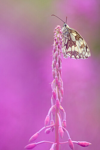 Marbled White (Melanargia galathea) butterfly on Fireweed (Chamerion angustifolium)butterfly on, Germany