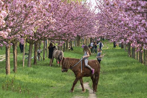 Kirschbluete in Teltow, Mauerweg, Kinder mit Pferden,  Brandenburg