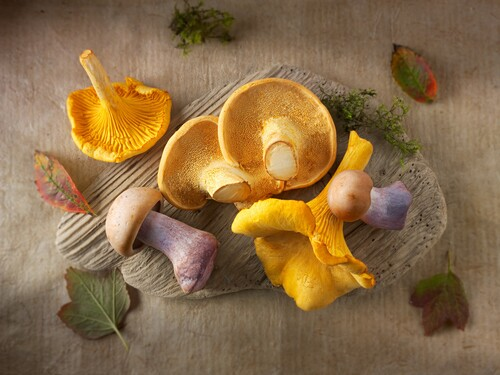 Fresh picked wiild chanterelle or girolle (Cantharellus cibarius), Pied de Mouton Mushrooms (hydnum repandum) or hedgehog mushrooms, Pied Bleu, blewitt or blue foot mushrooms (Clitocybe nuda).