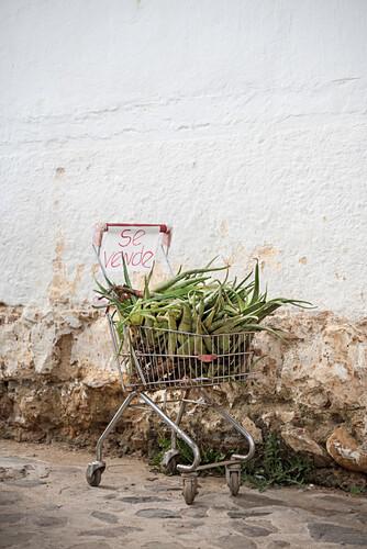 Einkaufswagen mit Aloe Vera zum Verkauf in den Gassen von Villa de Leyva, Departamento Boyacá, Kolumbien, Südamerika
