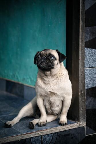 Mops Hund sitzt an Türschwelle aufrecht, Salento, UNESCO Welterbe Kaffee Dreieck (Zona Cafatera), Departmento Quindio, Kolumbien, Südamerika