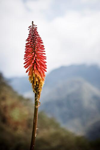 Bunte Blüte einer Pflanze im Valle del Cocora, Salento, UNESCO Welterbe Kaffee Dreieck (Zona Cafatera), Departmento Quindio, Kolumbien, Südamerika