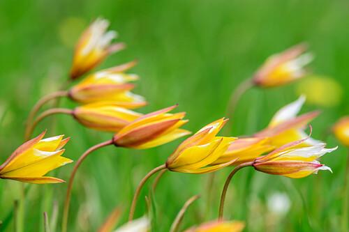 Wild tulips, Giro di Monviso, Monte Viso, Monviso, Cottian Alps, Piedmont, Italy