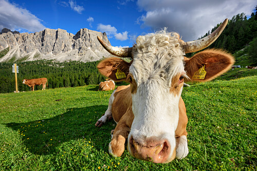 Cattle laying on meadow in front of rock faces, Monte Formin in background, Dolomites, UNESCO World Heritage Site Dolomites, Venetia, Italy