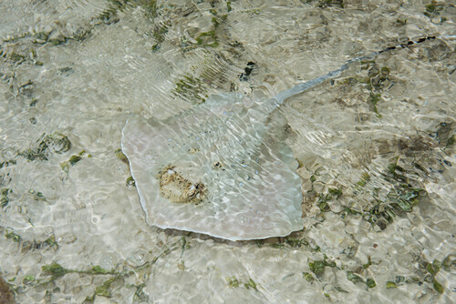 A well-camouflaged, sand-colored skate (family Rajidae) swims in shallow waters, Fulaga Island, Lau Group, Fiji, South Pacific