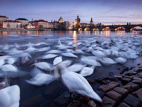 Swans in front of Charles Bridge, Prague, Czech Republic