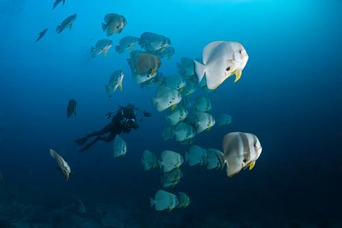 Schwarm Langflossen-Fledermausfische, Platax teira, Ari Atoll, Indischer Ozean, Malediven