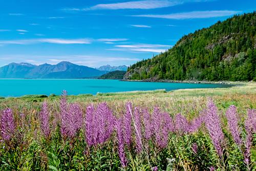 Violette Lupinen, Bergpanorama und hellblaues Gletscherwasser, Alaska, USA