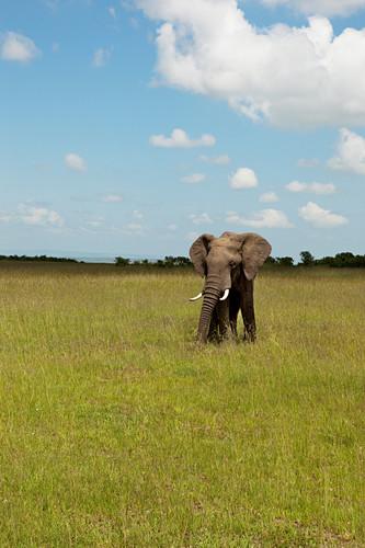 Elephant in the savannah, Safari, National Park, Masai Mara, Maasai Mara, Serengeti, Kenya