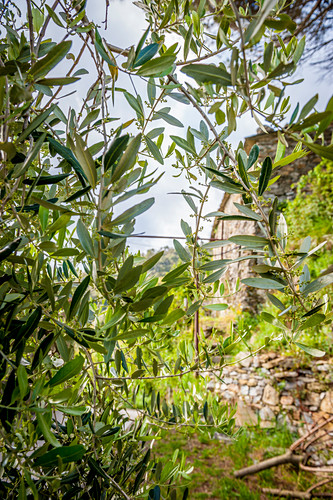 Olive tree in the vineyards above Vernazza, Cinque Terre, Italy