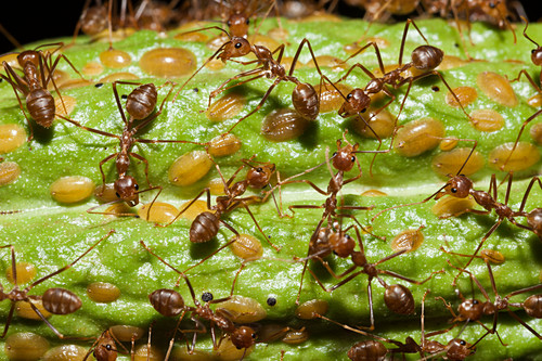 Ants on a cocoa fruit, Formicidae, Kimbe Bay, New Britain, Papua New Guinea