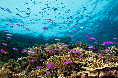 Tuka grouper on the reef, Pseudanthias tuka, Kimbe Bay, New Britain, Papua New Guinea